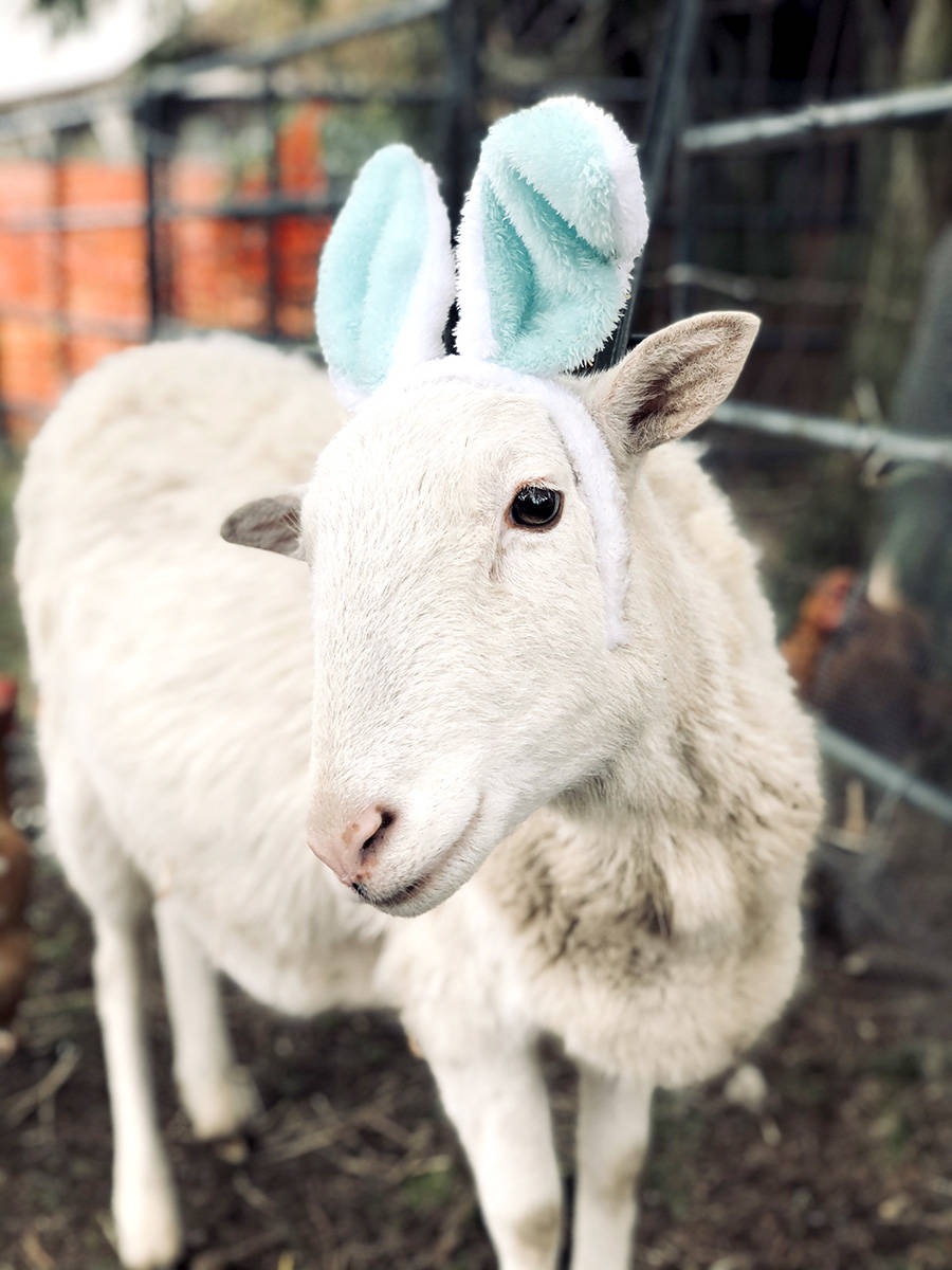 Linus the lamb celebrates Easter at Happy Herd Animal Sanctuary. (Happy Herd/Special to The Star)