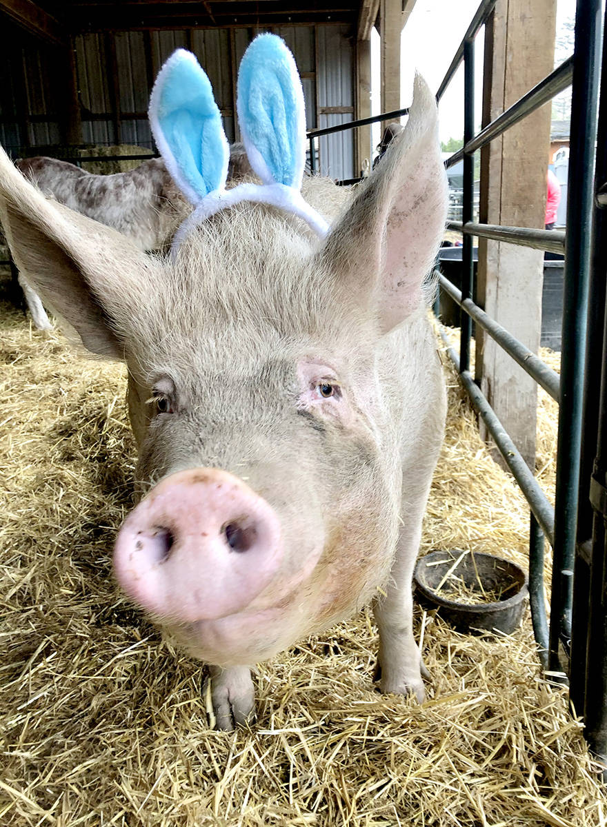 Lucy the pig celebrates Easter at Happy Herd Animal Sanctuary. (Happy Herd/Special to The Star)