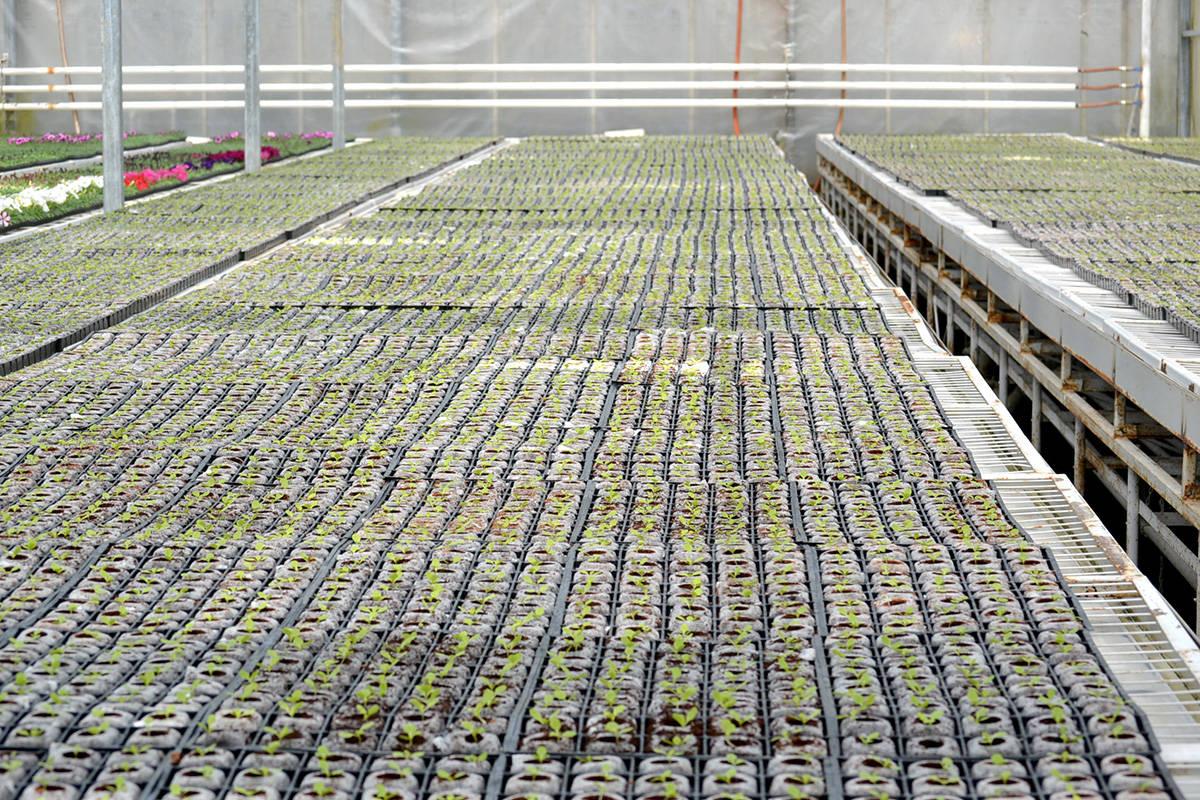 Canadian Valley Growers in Aldergrove uses LED lighting to grow lettuce quicker. (Ryan Uytdewilligen/Aldergrove Star)