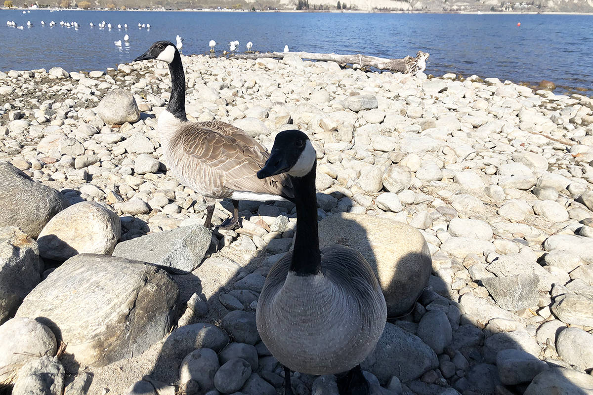 Kevin, the famous friendly Penticton goose, in the background with his new friend seen visiting and enjoying the weather on Easter Monday. (Monique Tamminga Western News)