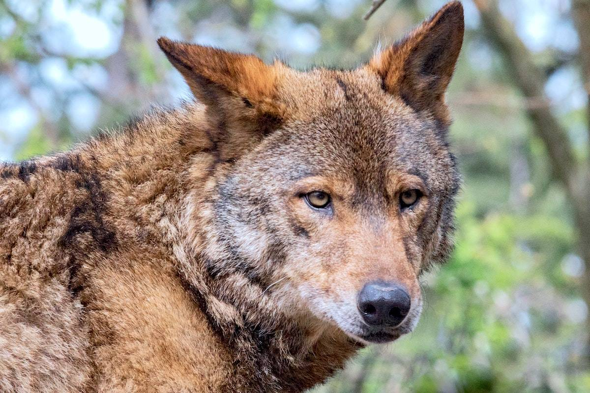 Dogs and joggers have recently come across aggressive coyotes in Metro Vancouver, including in Stanley Park where there were more than a dozen attacks this winter. (Unsplash)