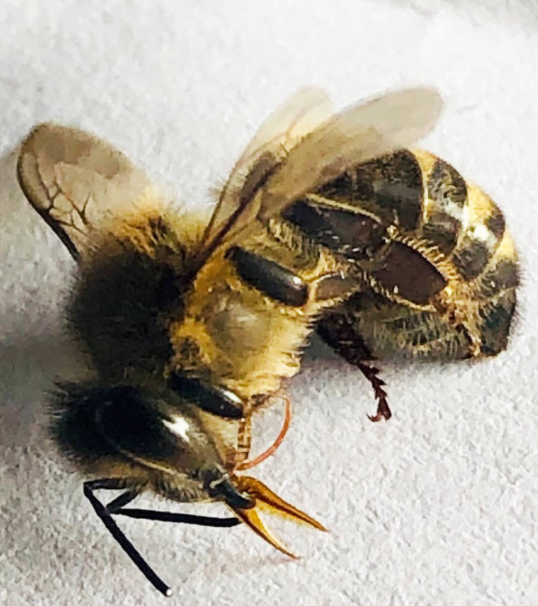 A dead bee with its tongue hanging out, a sure sign of poison. Photo: Darcee O'Hearn