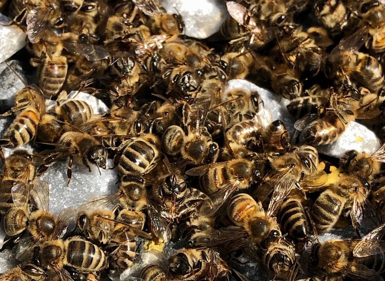 The O'Hearn-Stone family's dead honey bees. Photo: Darcee O'Hearn