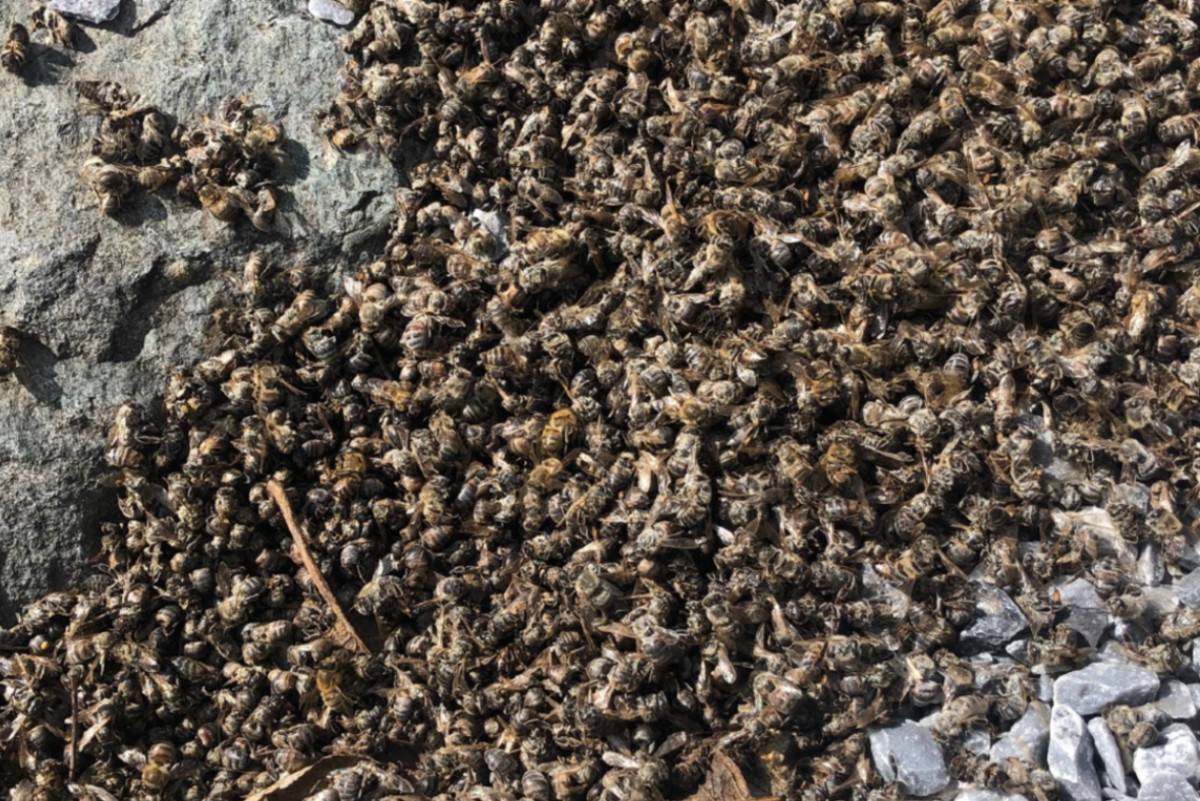 Darcee O'Hearn found her honey bees dead a few weeks ago, all showing signs of poisoning. Since then the two queen bees have also died. Photos: Darcee O'Hearn