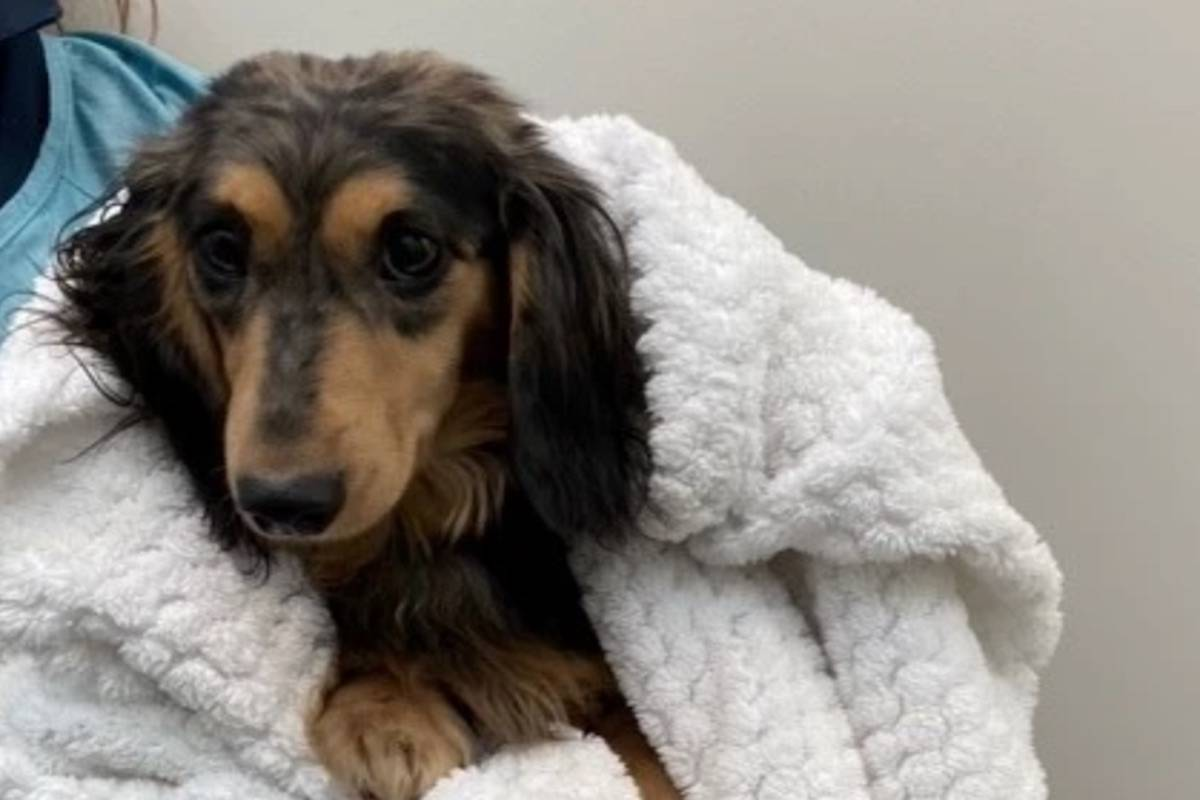All of the dogs are miniature dachshunds. Photo: BC SPCA  All of the dogs are miniature dachshunds. Photo: BC SPCA  All of the dogs are miniature dachshunds. Photo: BC SPCA  All of the dogs are miniature dachshunds. Photo: BC SPCA