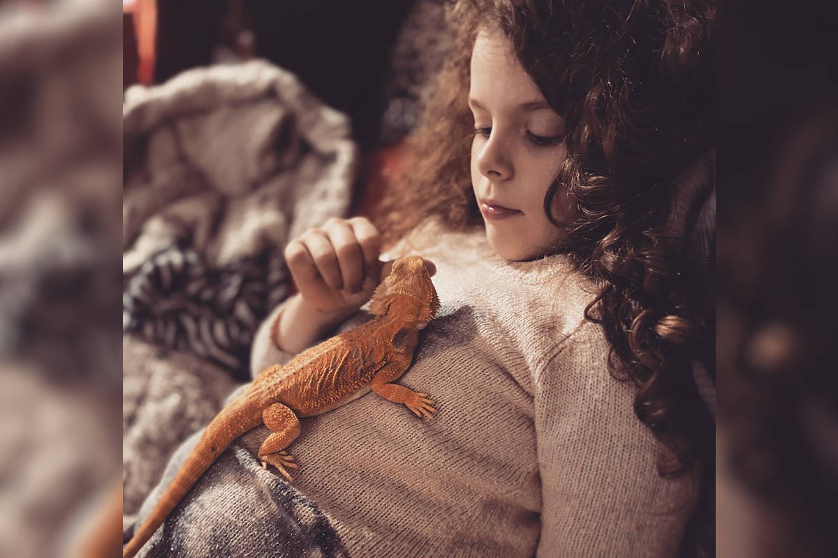 Eight-year-old Piper and her family are raising money to help Guinevere, the bearded dragon, get a gynecological surgery. The family is hoping to offset the cost of the procedure. (Jackee Sullivan/Special to Langley Advance Times)