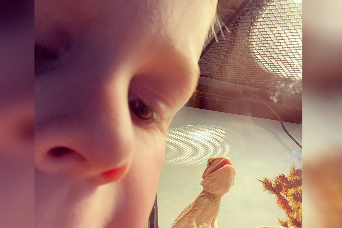 Five-year-old Aengus and his family are raising money to help Guinevere, the bearded dragon, get a gynecological surgery. The family is hoping to offset the cost of the procedure. (Jackee Sullivan/Special to Langley Advance Times)