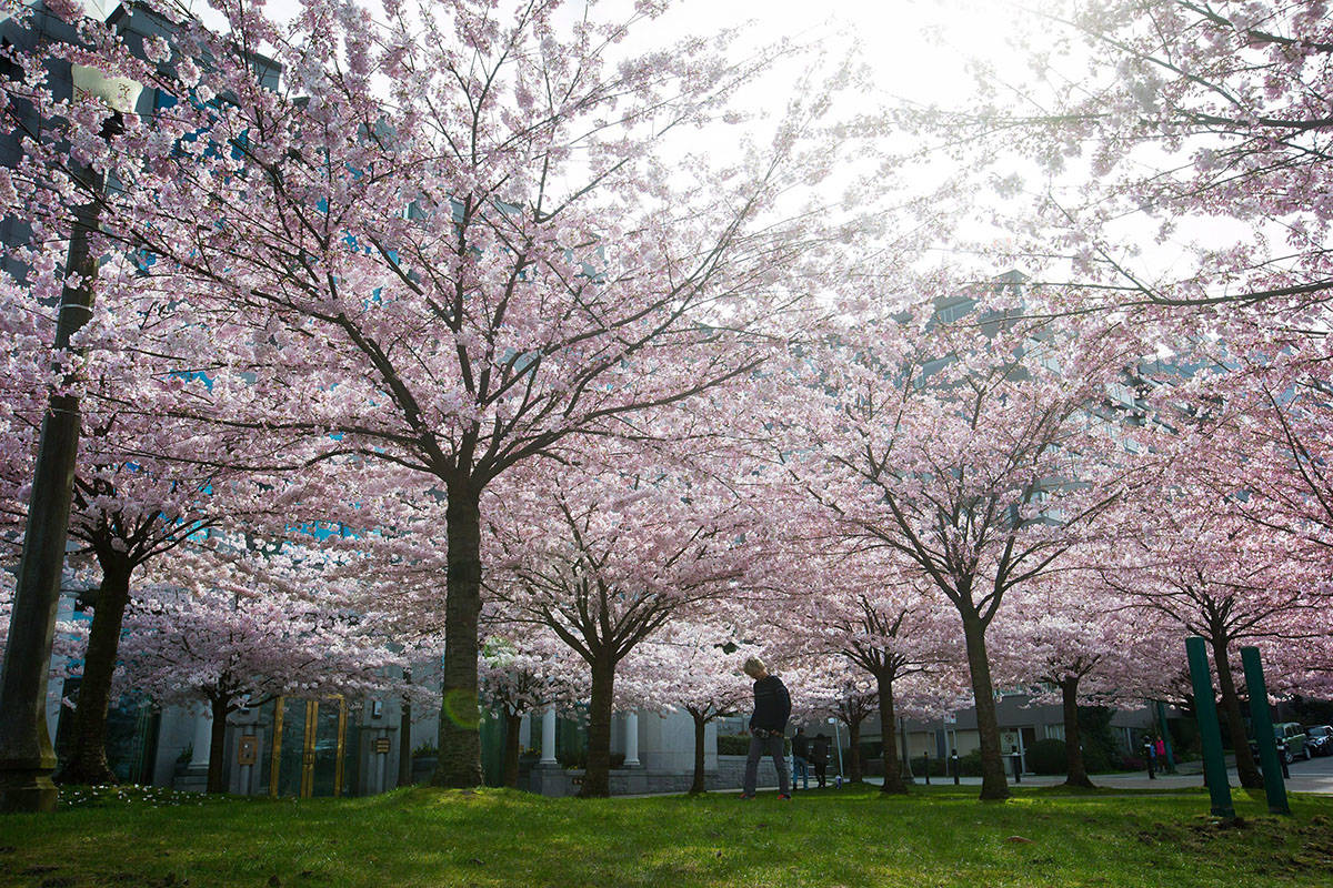 FILE – A man walks past cherry blossoms in full bloom near Lost Lagoon in Vancouver, B.C., on Tuesday March 17, 2015. THE CANADIAN PRESS/Darryl Dyck