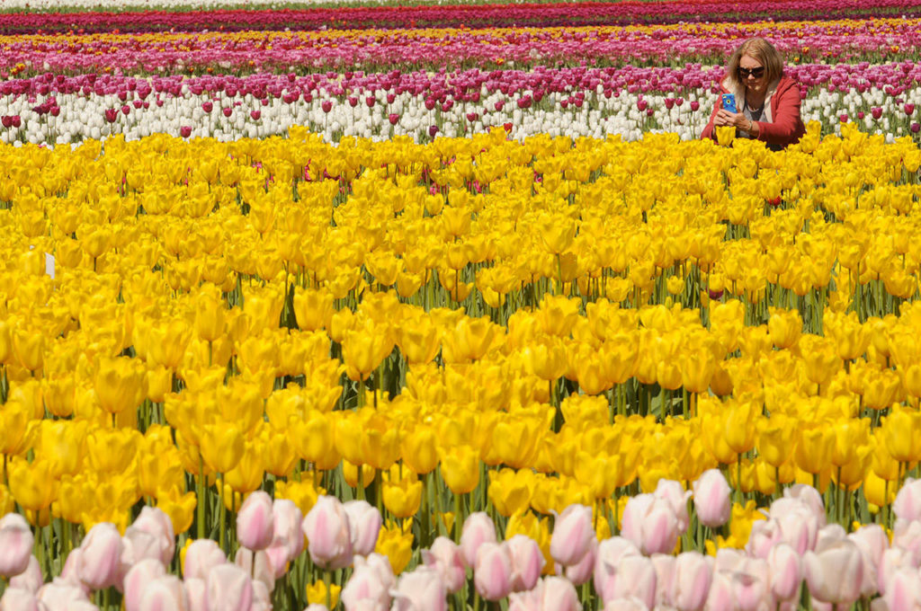 A woman takes a photo of tulips in bloom during the Tulips of the Valley Festival on May 2, 2017. The colourful spring event, now called Chilliwack Tulips, opens on Sunday, April 11, 2021. (Jenna Hauck/ Chilliwack Progress file)