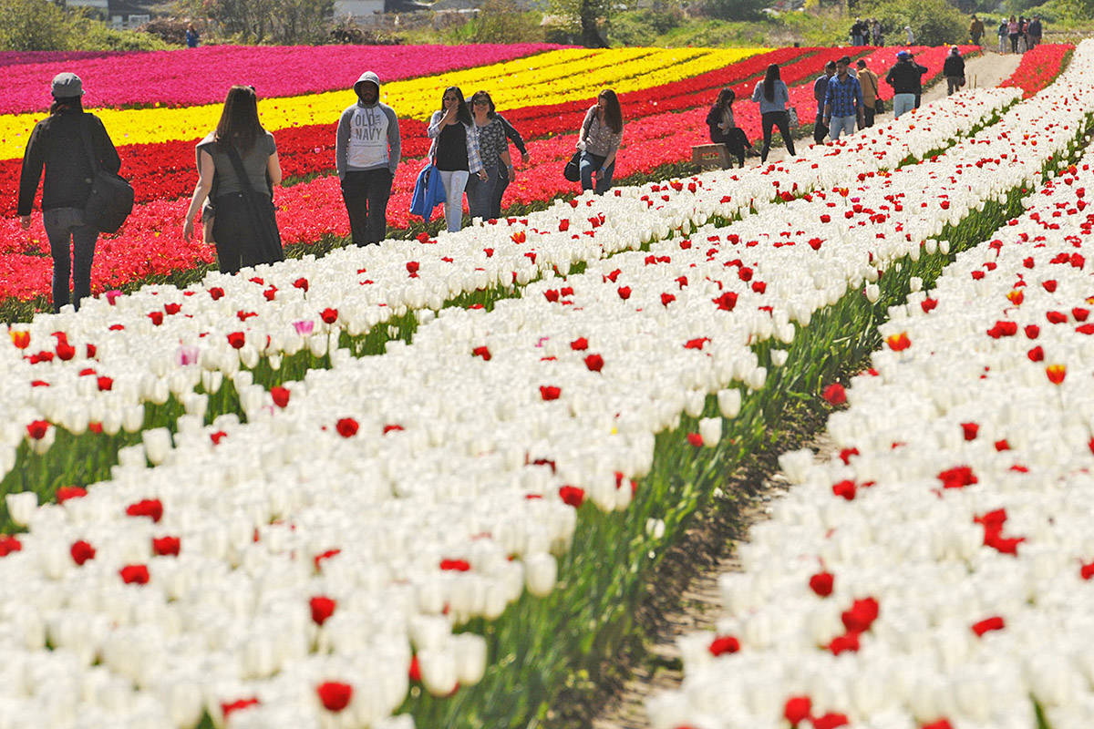 People stroll through rows of tulips in bloom during the Tulips of the Valley Festival on May 2, 2017. The colourful spring event, now called Chilliwack Tulips, opens on Sunday, April 11, 2021. (Jenna Hauck/ Chilliwack Progress file)