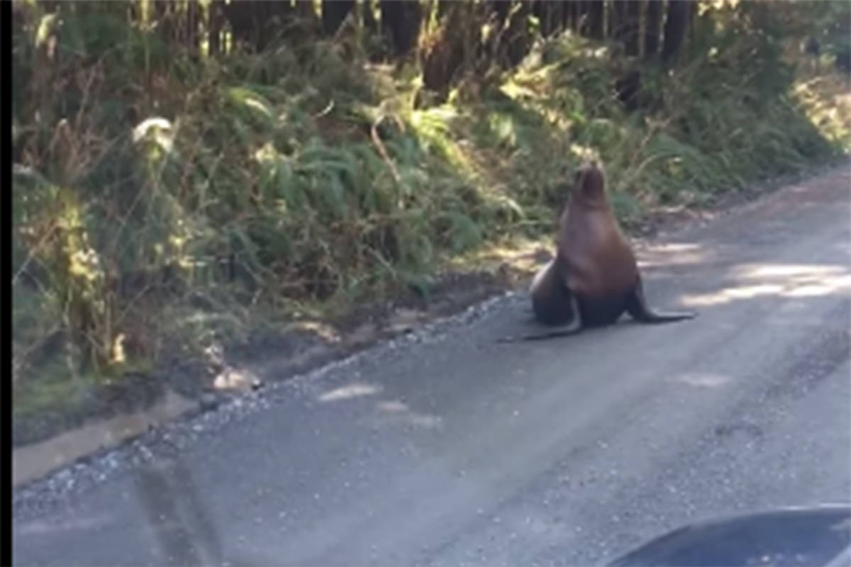 Facebook screenshot of the sea lion on Holberg Road. (Greg Clarke Facebook video)