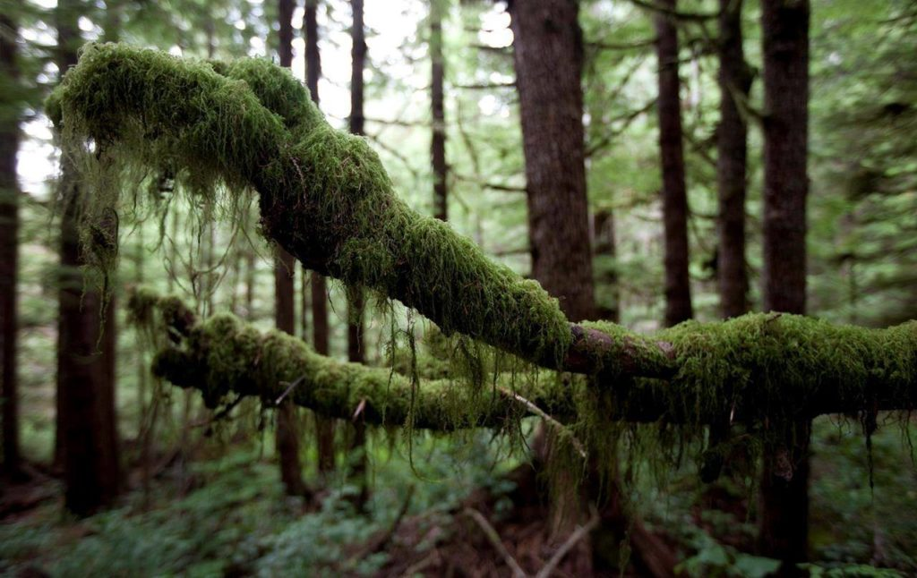 Moss covered branches are seen in the Avatar Old Growth Forest near Port Renfrew on Vancouver Island, B.C. Thursday, Sept. 29, 2011. THE CANADIAN PRESS/Jonathan Hayward