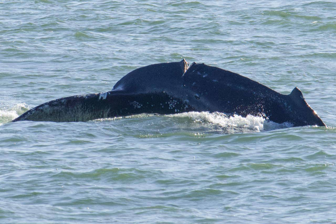 A deep cut on a humpback whale is shown in this recent handout photo in the Vancouver area. A conservation organization is warning boaters to be extra careful to prevent further harm to an injured humpback whale swimming in the Vancouver area. THE CANADIAN PRESS/HO, Ocean Wise, Vanessa Prigollini *MANDATORY CREDIT*