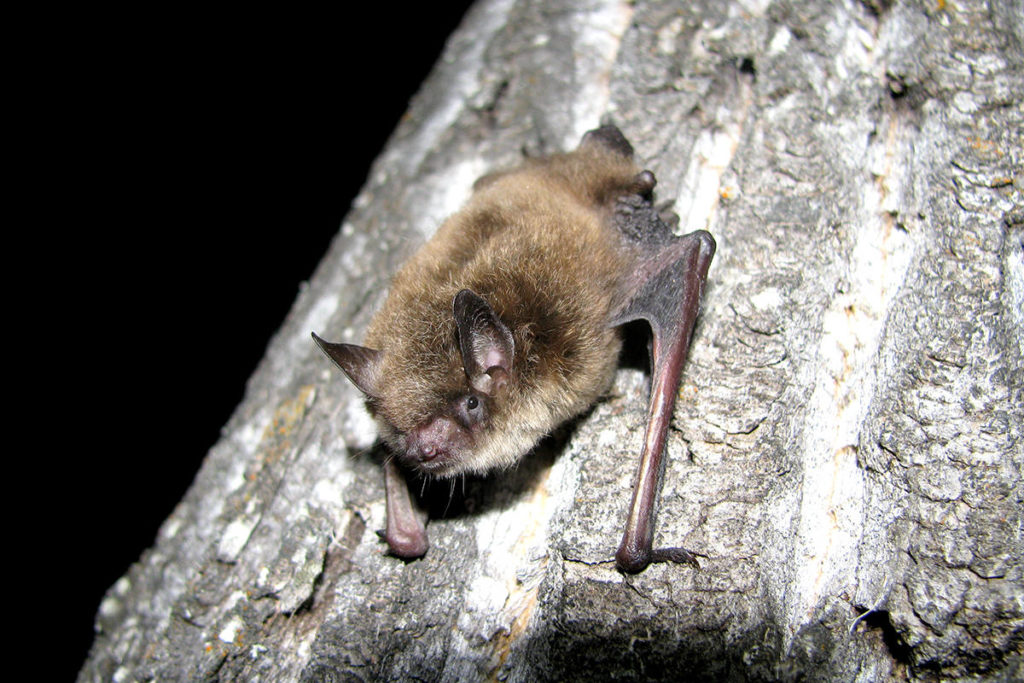 Little brown myotis bat. (Cory Olson/Special to The Star)