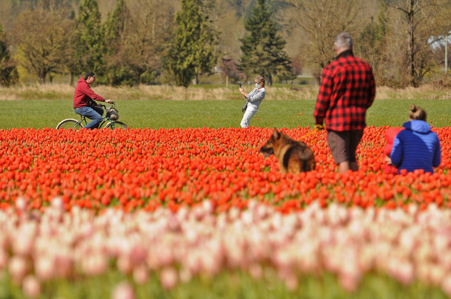 People take in the fields of tulips at the Chilliwack Tulips attraction on April 13, 2021. (Jenna Hauck/ Chilliwack Progress)