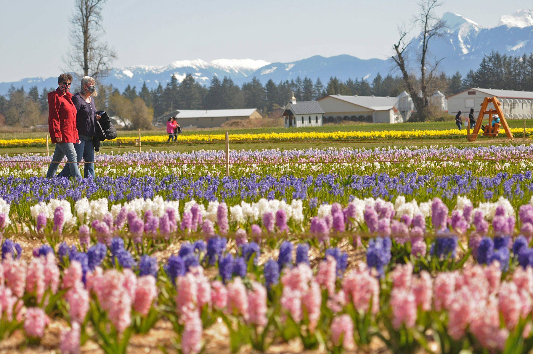 People take in the fields of hyacinths and daffodils at the Chilliwack Tulips attraction on April 13, 2021. (Jenna Hauck/ Chilliwack Progress)