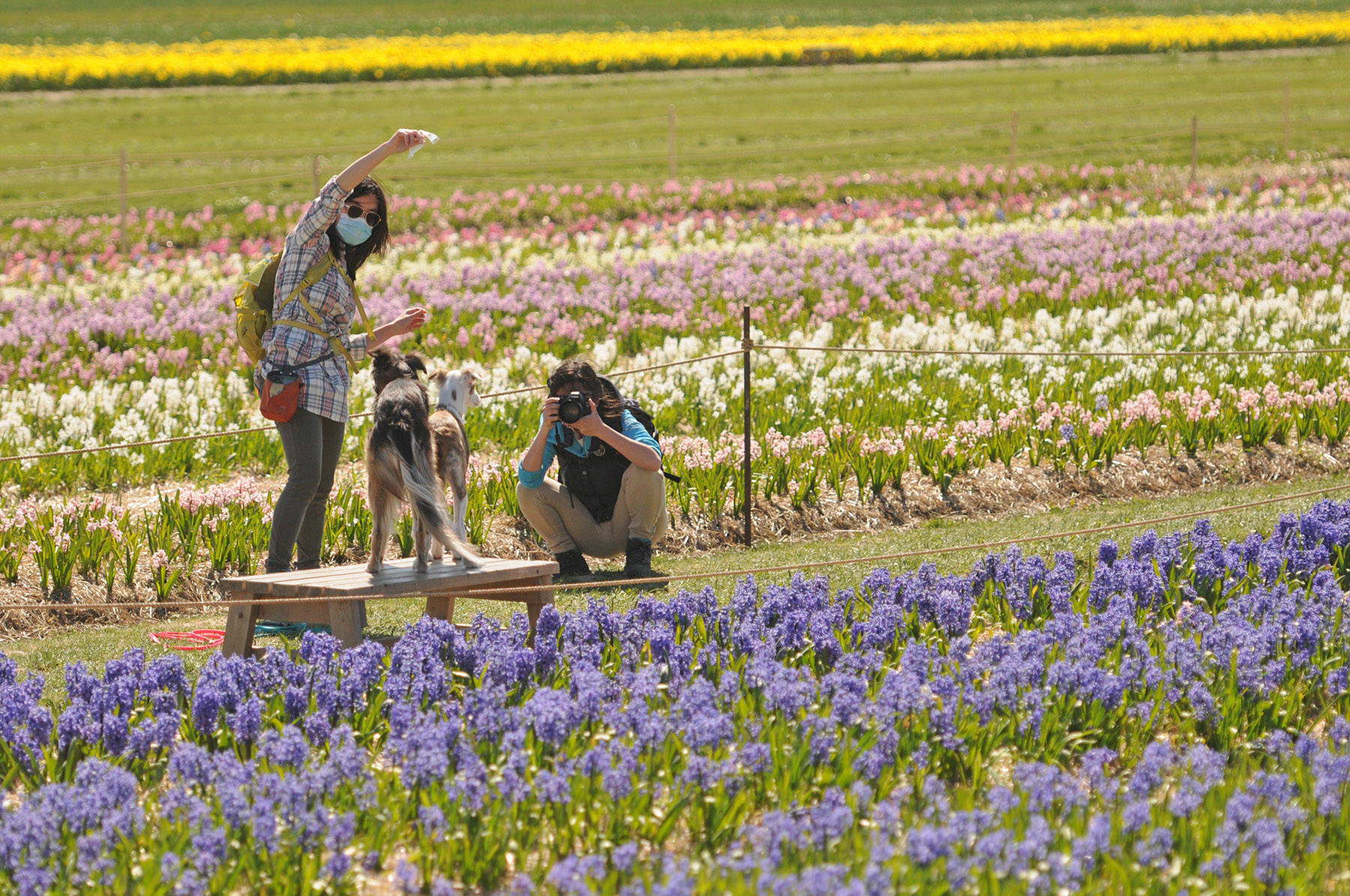 Kelly Ng (left) tries to get the attention of Podzol and Aquila as twin sister, Pauline Ng, snaps a photo of the two dogs by a field of hyacinths at the Chilliwack Tulips attraction on April 13. (Jenna Hauck/ Chilliwack Progress)