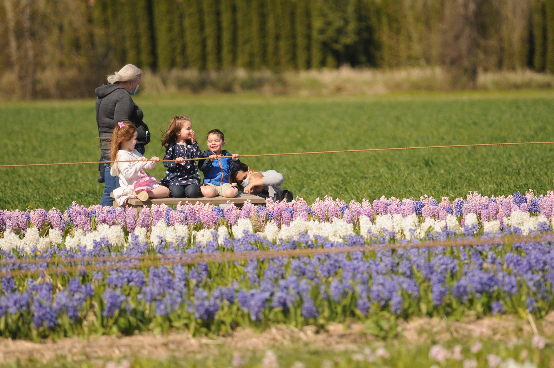 People take in the fields of hyacinths at the Chilliwack Tulips attraction on April 13, 2021. (Jenna Hauck/ Chilliwack Progress)