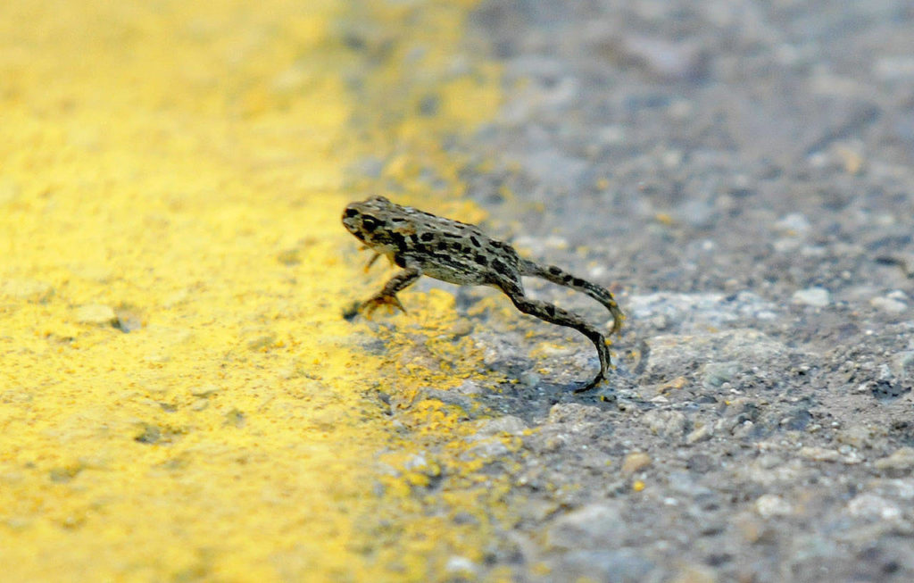 A Western toadlet crosses the centre line of Elk View Road in Chilliwack on Aug. 26, 2010. A tunnel underneath the road has since been installed to help them migrate cross the road. Saturday, April 24 is Save the Frogs Day. (Jenna Hauck/ Progress File)