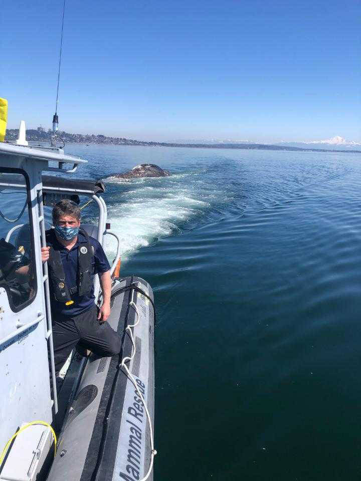South Surrey's Paul Cottrell, who works with the DFO, tows a grey whale out of Semiahmoo Bay Sunday. (Contributed photo)
