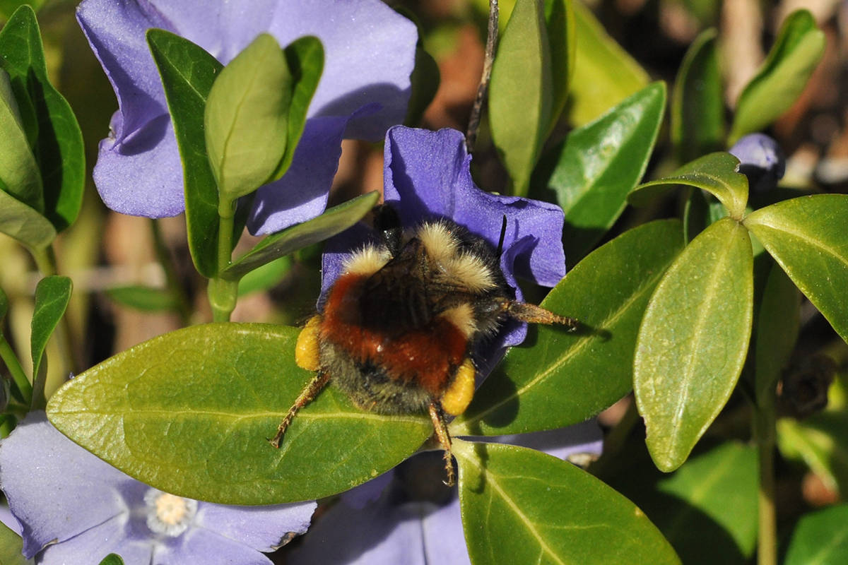 A native-to-B.C. wild queen bee (bombus melanopygus for those in the know) feeds on a periwinkle flower. (Submitted/Sarah Johnson, Native Bee Society of BC)
