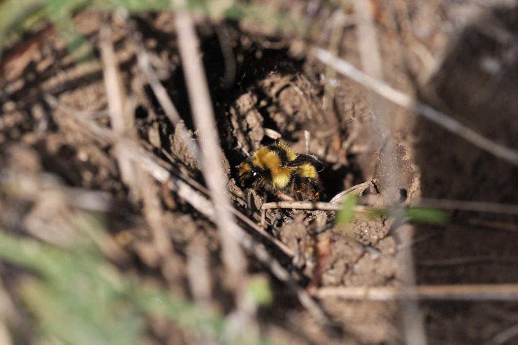 A queen bombus melanopygus bee, a species native to B.C, hunts for a good place to make a nest. (Submitted/Sarah Johnson, Native Bee Society of BC)