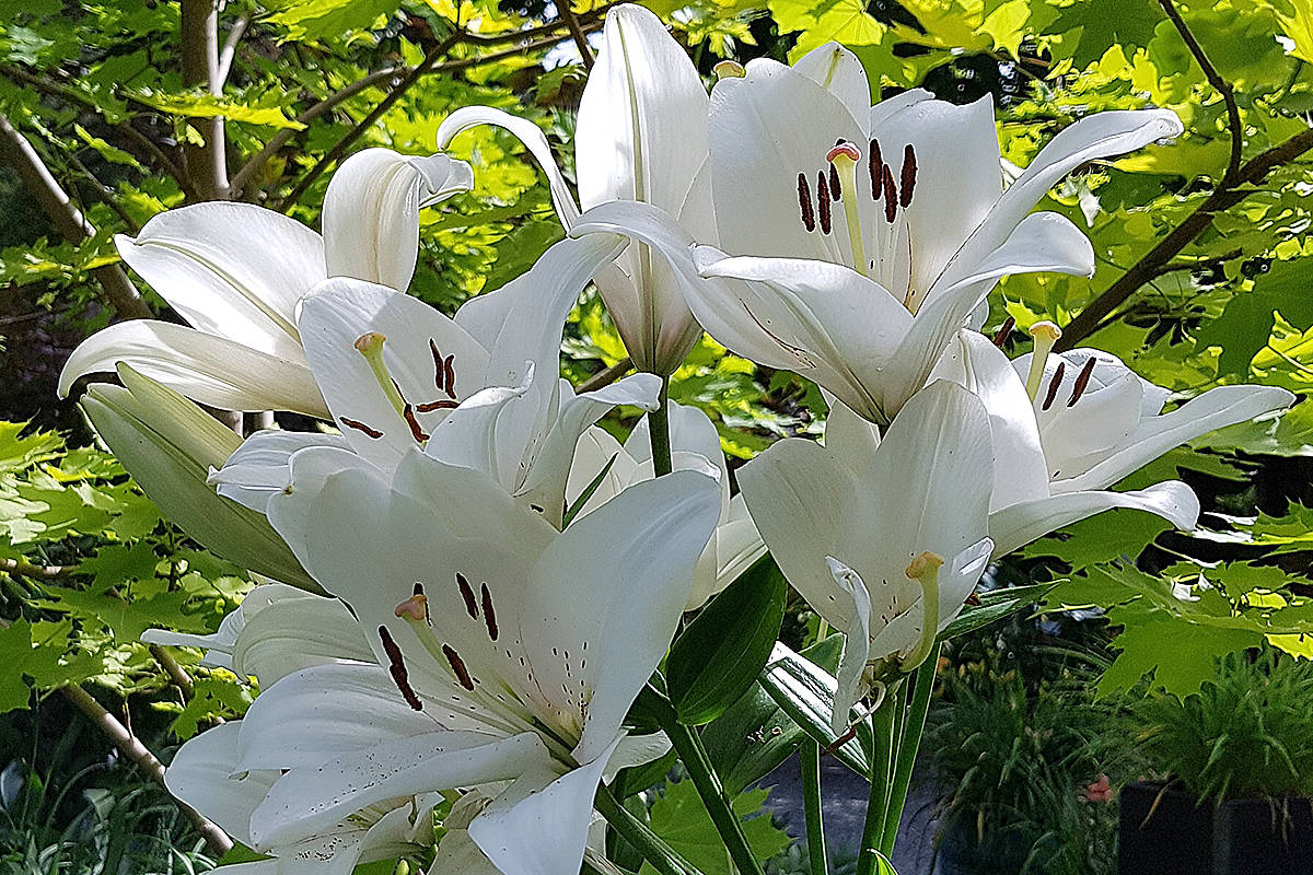 """Bach lilies are at """"stunning"""" white perennial with sturdy stems. (Pam Erikson/Special to Langley Advance Times)"""