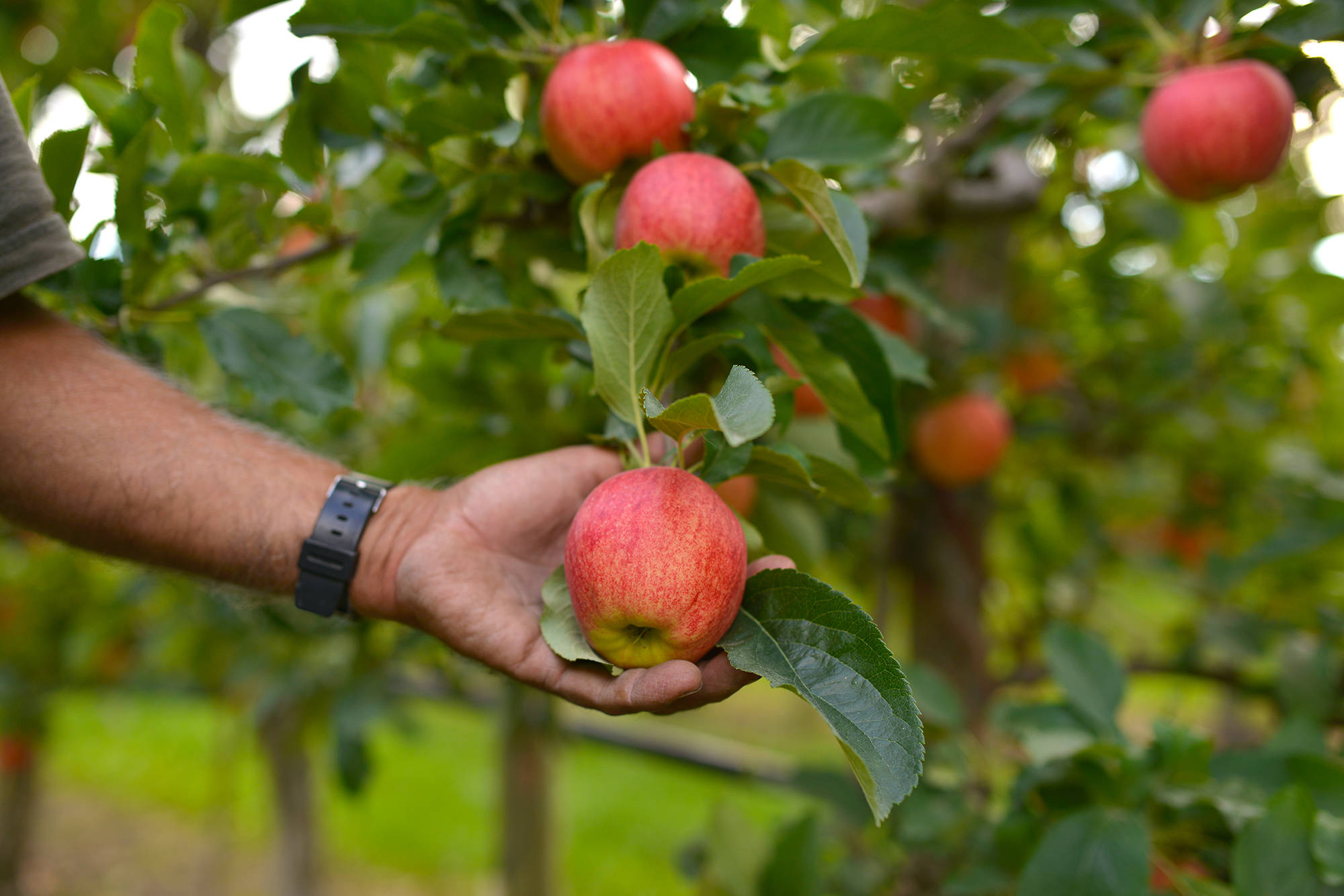 B.C.'s 2021 budget is trending in the right direction to support farmers, says the BC Fruit Growers' Association. (Phil McLachlan - Capital News)