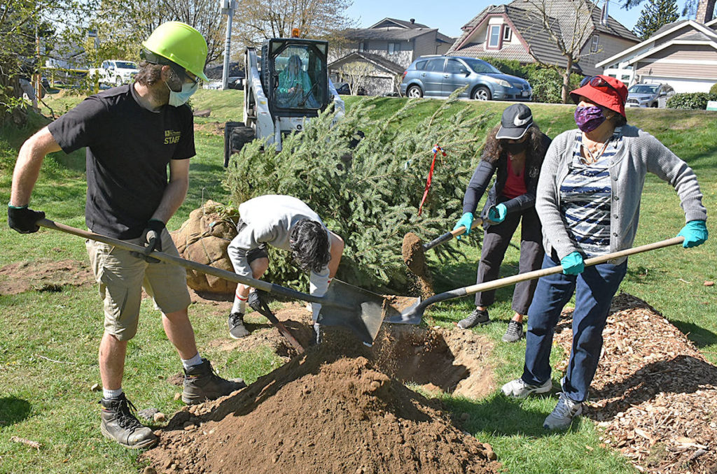 Pitt Meadows parks employee Curtis Gervais joins family members Ethan Andrews, his aunt Shihana Wewala and grandmother Daughty Preena in planting a white spruce in Bonson Park. (Neil Corbett/The News)