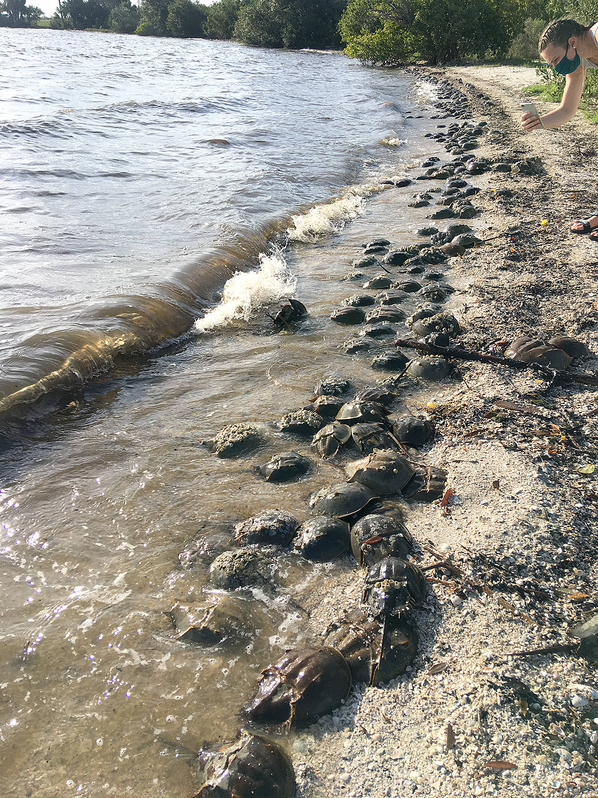 Langley university graduate Katharine Sell helps tackle ocean microplastics and protect marine life. Part of her most recent project was research involving horseshoe crab migration in Florida. (Special to Langley Advance Times)