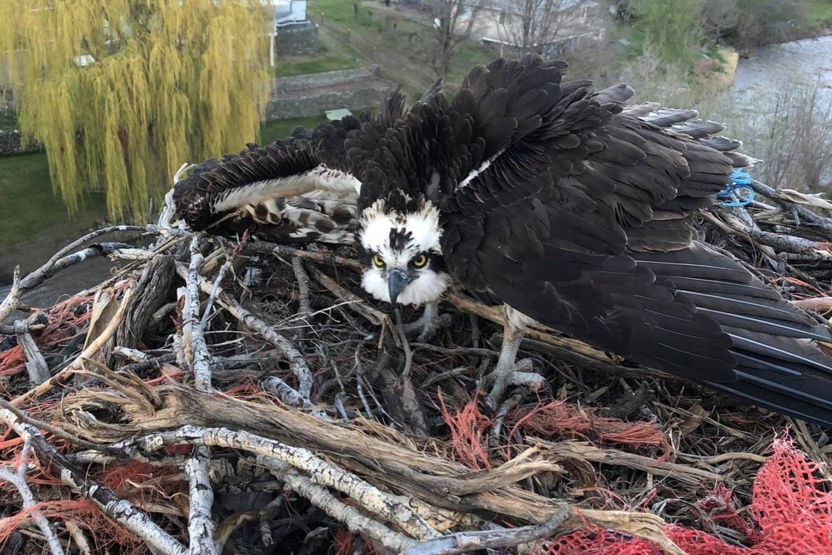 The freed osprey keeps a wary eye on its rescuers after being deposited on its nest. (Photo credit: Greg Hiltz)