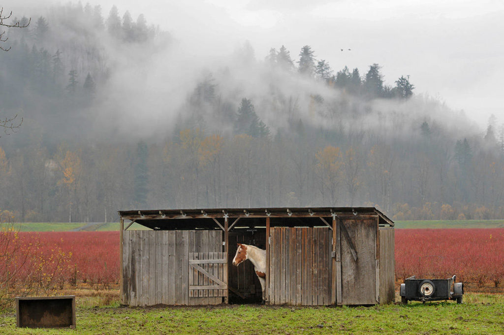A horse on Yale Road West in Chilliwack peeks out from its shelter at the rainy weather on Friday, Nov. 20, 2020. Monday, April 26 is Help a Horse Day. (Jenna Hauck/ Chilliwack Progress file)