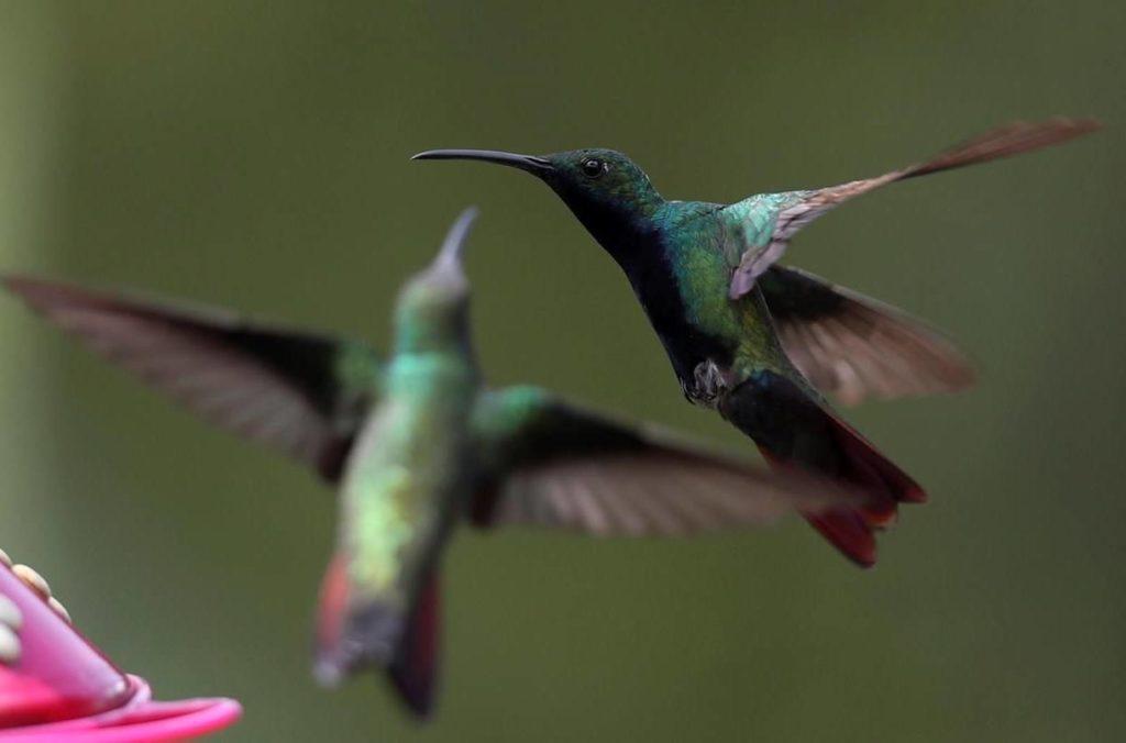 Hummingbirds arrive to feed in Leonor Pardo's Enchanted Garden in San Francisco de Sales, near Bogota, Colombia, Thursday, Dec. 10, 2020. THE CANADIAN PRESS/AP-Fernando Vergara