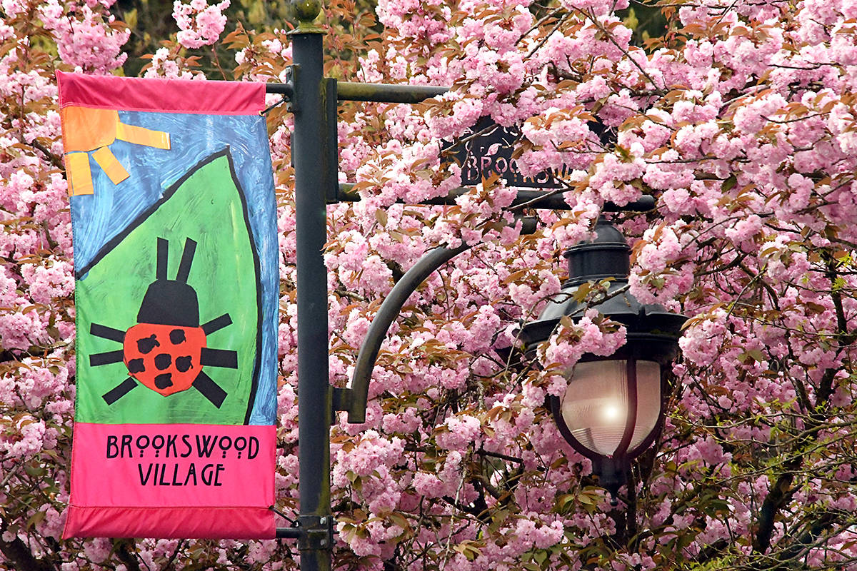 """Brookswood's Bruce Thomson drove along 200th Street several times before pulling over to grab a picture. He greatly appreciates the vibrant blossoms that adorned the area, and loved the street light sounded by all the blooms. """"The village is lookin' mighty fine these days,"""" he said. (Special to Langley Advance Times)"""