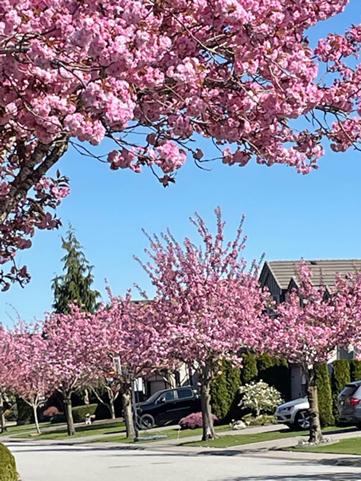 Anne-Marie Walsh, meanwhile, took a picture of the pink blossoms brightening up her street in Walnut Grove. (Special to Langley Advance Times)