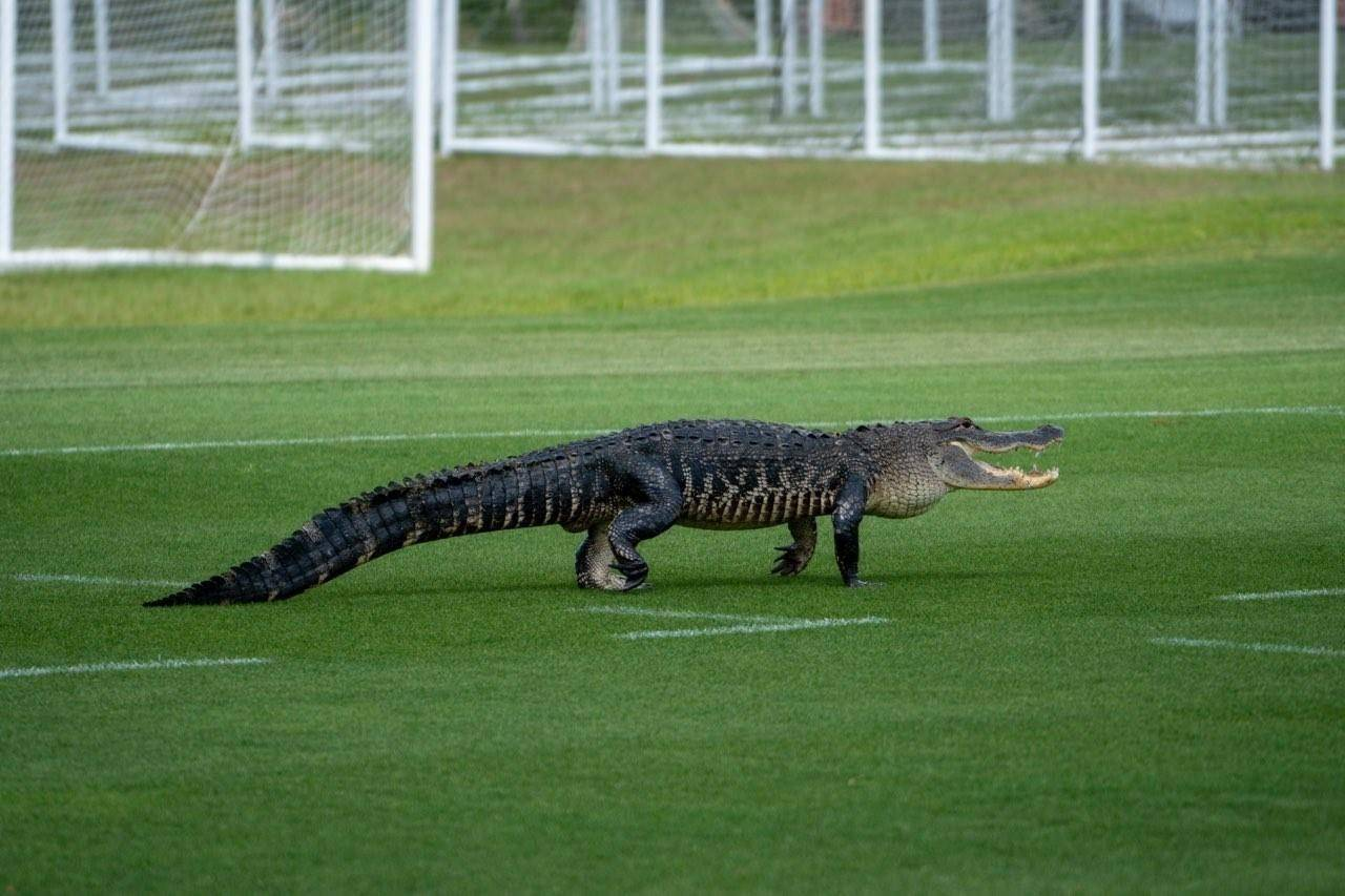 An alligator walks across the Toronto FC practice field in Orlando, Florida on Monday April 26, 2021. Not that they needed a reminder that they're a long way from home, but Toronto FC players had an alligator crash their practice in Florida. THE CANADIAN PRESS/HO-Toronto FC-Eric Giacometti *MANDATORY CREDIT*