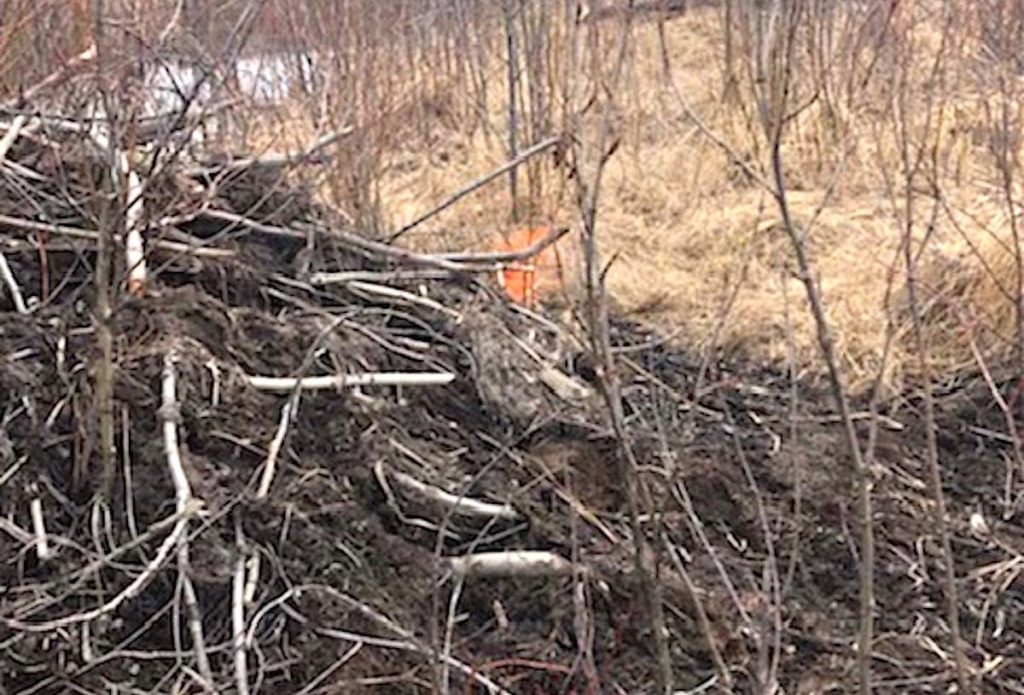 Beavers in Tumbler Ridge used TELUS fibre cable they chewed off to bolster their dam. (Submitted)