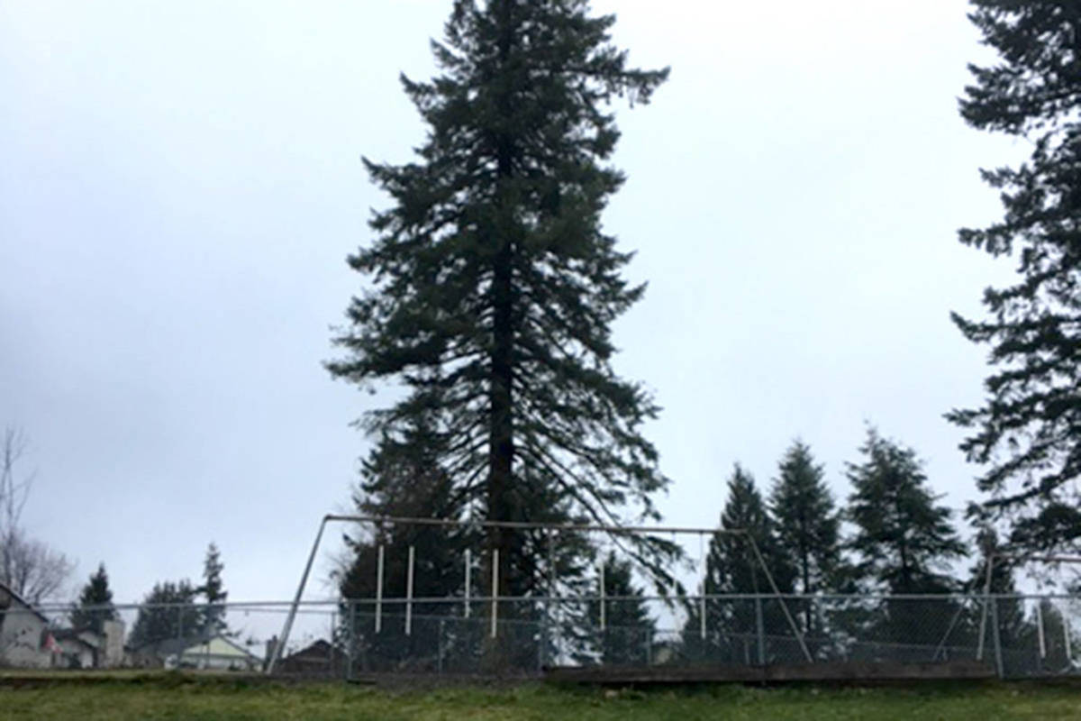 125-year-old Douglas Fir was cut down in Aldergrove. (Carleigh Johnston/Special to the Star)