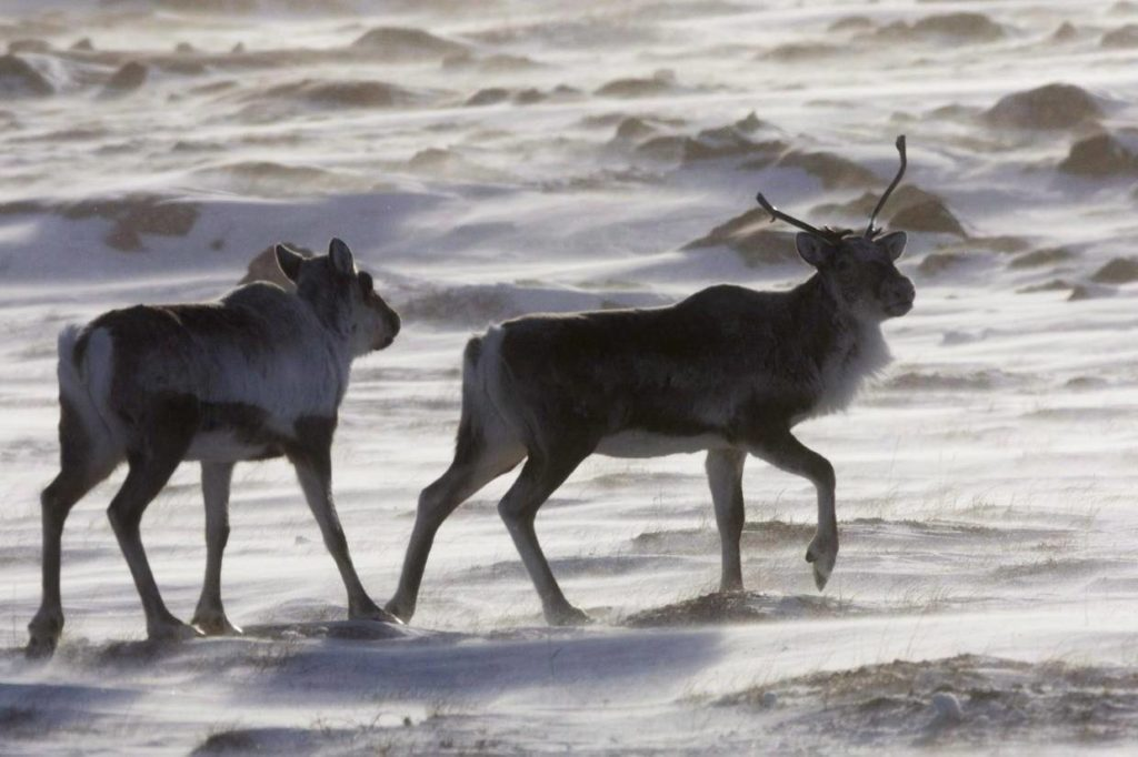Wild caribou roam the tundra near The Meadowbank Gold Mine located in Nunavut on Wednesday, March 25, 2009. Newly published research shows threatened caribou herds have lost twice as much habitat as they've gained over the last twenty years. THE CANADIAN PRESS/Nathan Denette