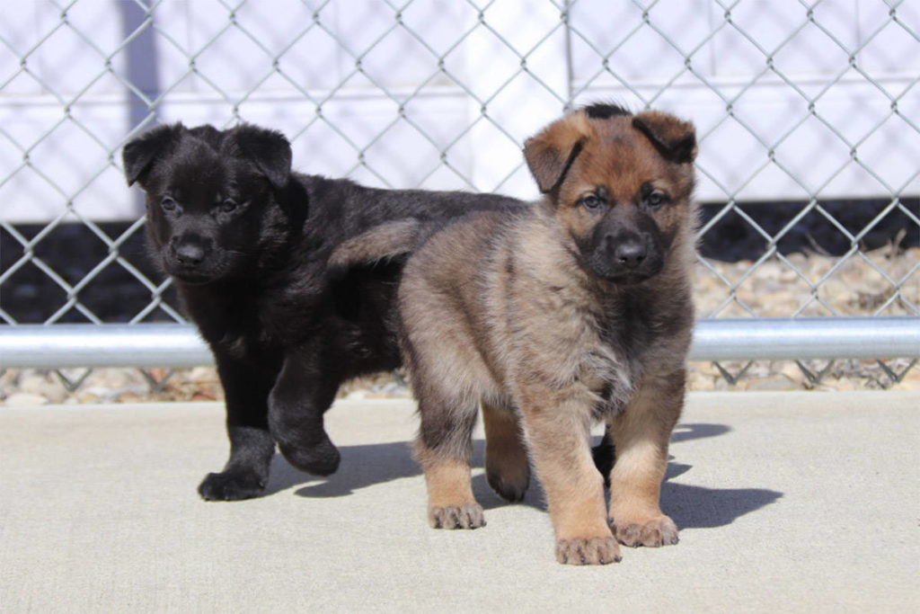 Some of the 13 German shepherd puppies born at the Police Dog Service Training Centre in Innisfail, Alta. in 2021. (RCMP)