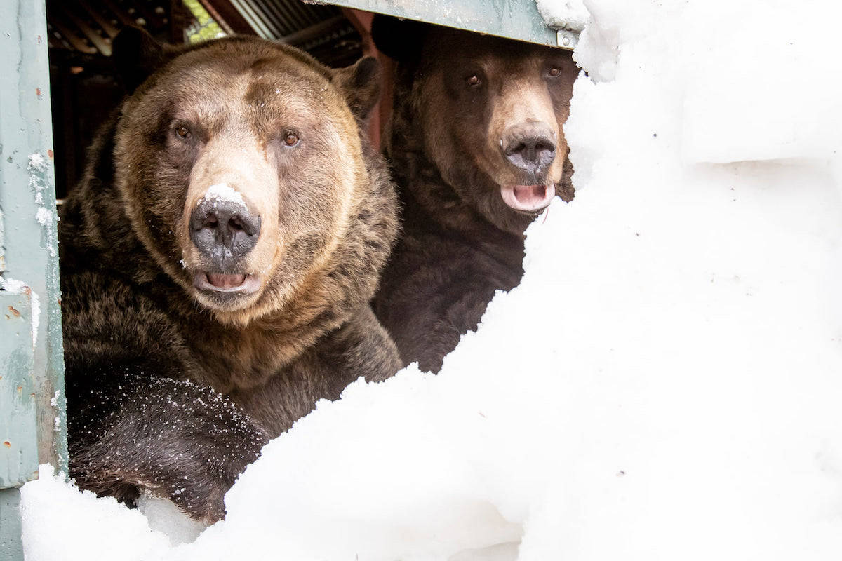 Emerging through a bed of snow Thursday, Grinder and Coola clawed their way out into the new season. (Grouse Mountain Resort)