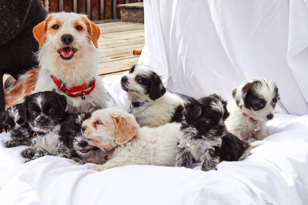 Cookie and her puppies are doing well at their foster home after being rescued from a property in northern B.C. (BC SPCA)