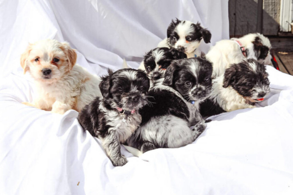 Cookie's puppies are doing well at their foster home after being rescued from a property in northern B.C. (BC SPCA)(BC SPCA)
