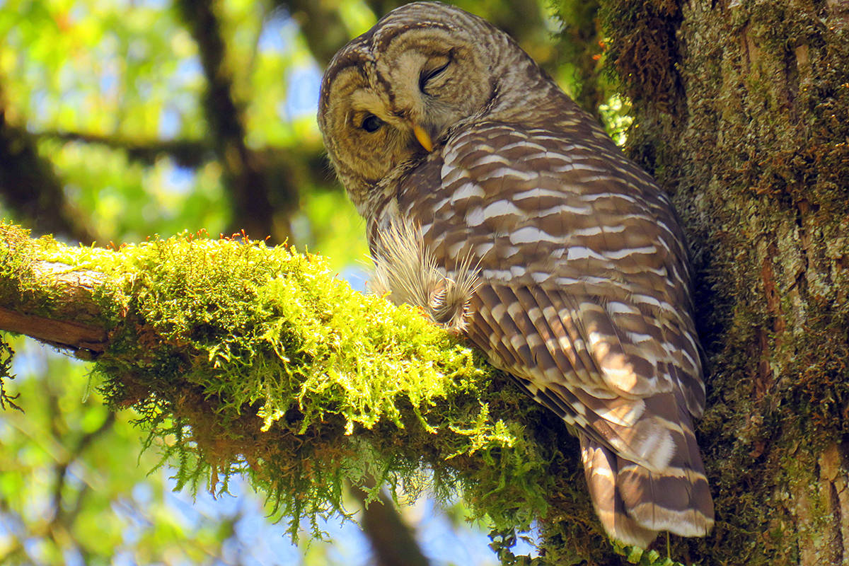 Maryalice Wood was given a nod and a wink on Earth Day by this barred owl spotted in her backyard in Willoughby. What kind of wildlife is showing up in your backyard this spring? (Special to Langley Advance Times)