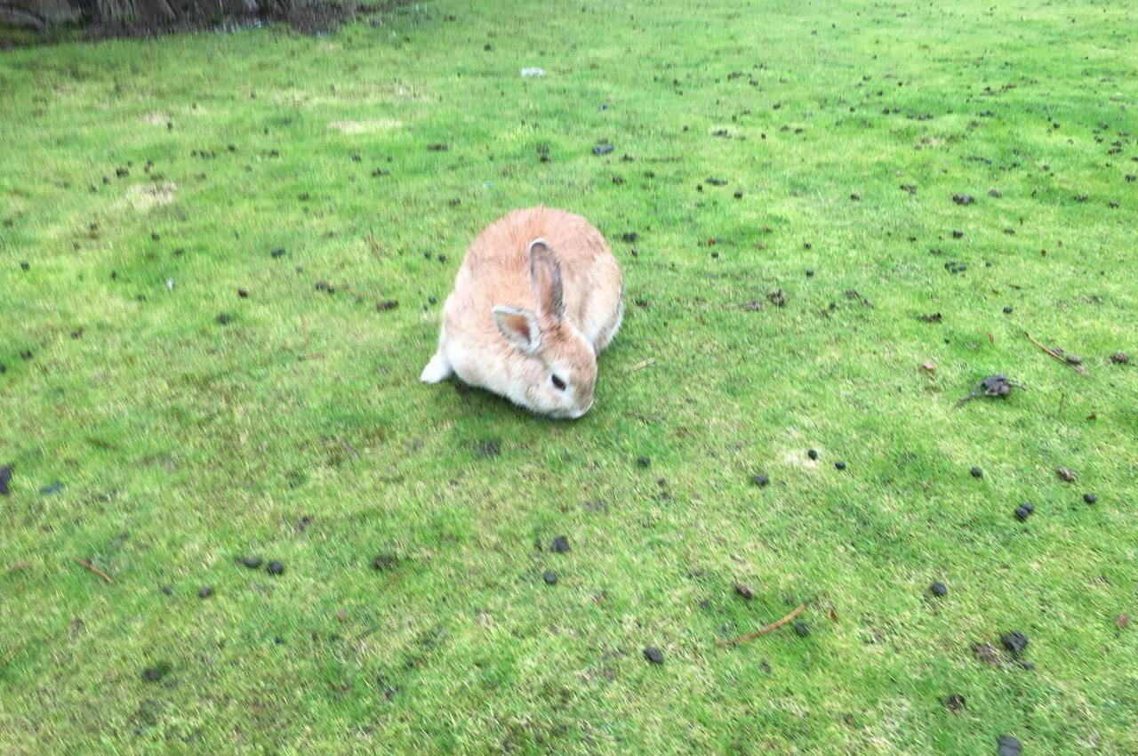 A wild rabbit grazes in Nanaimo, B.C. in this Feb.2, 2018 photo. Rabbit owners in Alberta are being warned about a deadly virus that was identified in a southern Alberta household last month. THE CANADIAN PRESS/Dirk Meissner