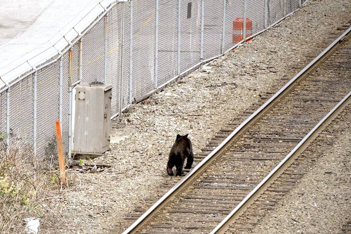 A black bear made a visit to downtown Vancouver Tuesday, May 4. The animal was spotted on train tracks in Gastown shortly after at 2:30 p.m. (Twitter/Craig Minielly)