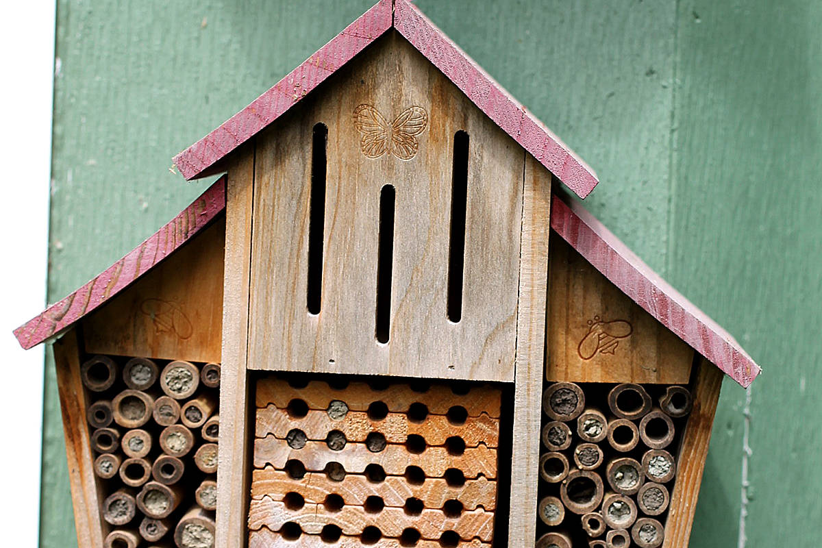 A mason bee metropolis is unfolding in David Clements backyard. (Special to Langley Advance Times)