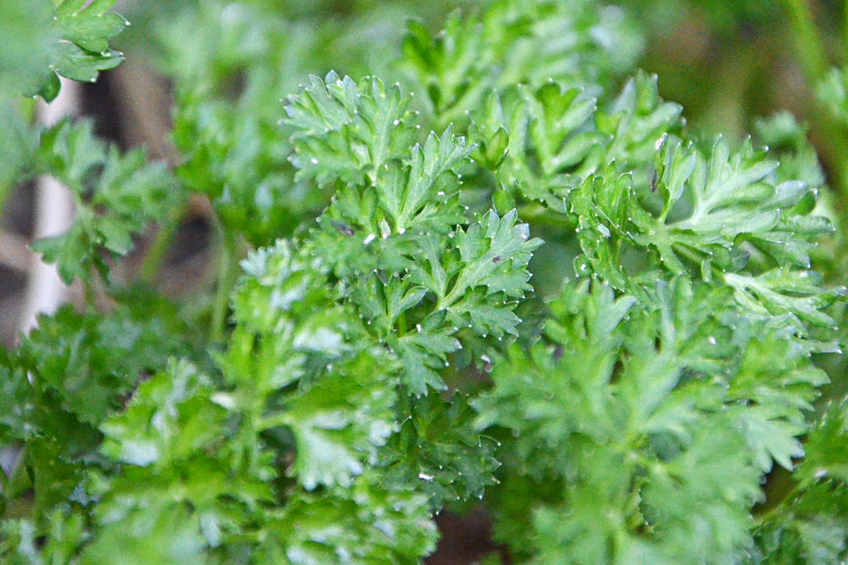 Italian flat leaf parsley can be used in pesto, replacing fresh basil. (Heather Colpitts/Black Press Media)