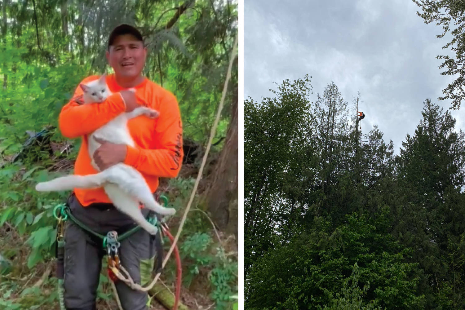 Jonathan Prest had to climb way up to the top of a dead red cedar tree to rescue a terrified cat, but he made it up and down successfully. (Facebook photos)