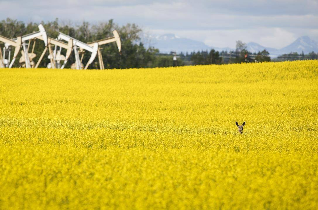 Pumpjacks draw oil out of the ground as a deer stands in a canola field near Olds, Alta., Thursday, July 16, 2020. THE CANADIAN PRESS/Jeff McIntosh